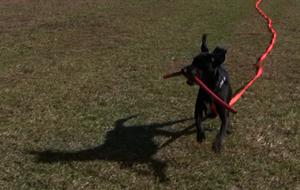 black dog running joie de vivre