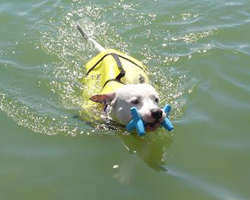 puppy swimming with life vest