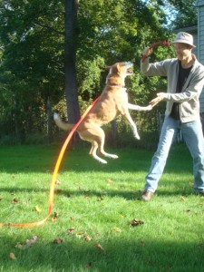 Dog jumps in the air during a lively game of tug