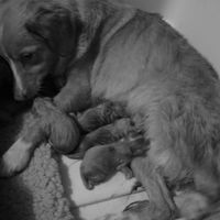 mother dog and babies